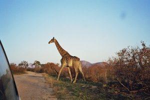 Giraffe_II