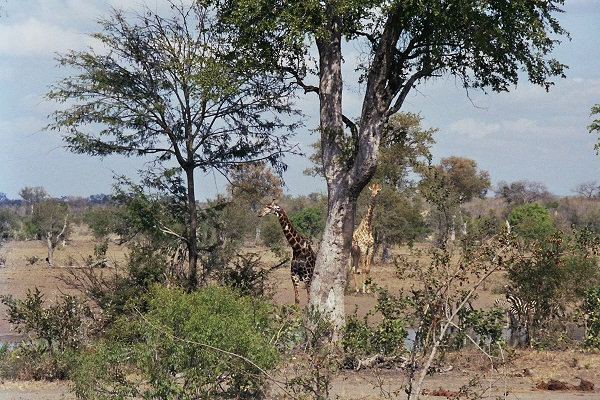 Giraffen_Wasserloch
