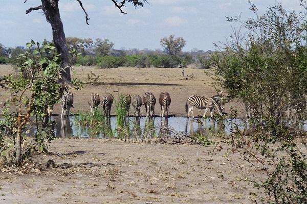 Zebra_Wasserloch
